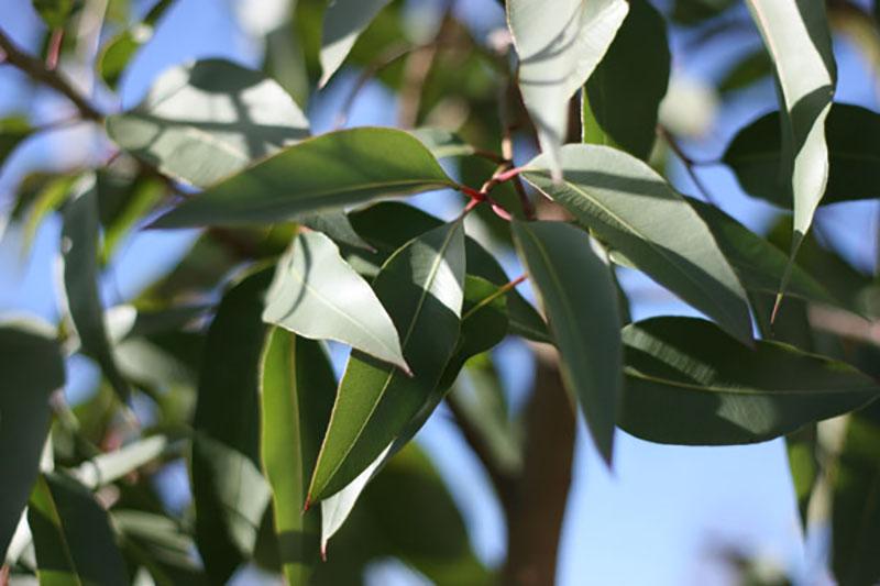 Eucalyptus-Citriodora